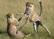 花豹犀牛野生动物图片合集