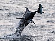 黑剑鱼凶猛捕食图片