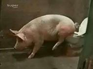 搞笑图片大全之会用马桶的猪