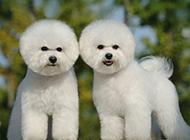 双胞胎小比熊犬卖萌图