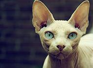 斯芬克斯猫图片眼神警惕认真