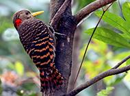常见的益鸟啄木鸟医生图片