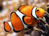 美丽的小丑鱼