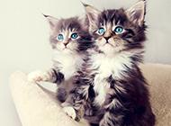 蓝眼挪威森林猫幼崽图片壁纸