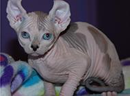温顺安静的斯芬克斯猫图片