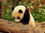 国家一级保护动物熊猫天然呆美图