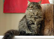 威风凛凛的挪威森林猫壁纸图片