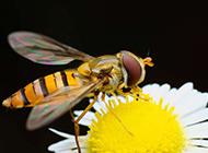 辛勤劳作的蜜蜂图片高清壁纸