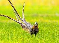 颜色鲜艳的白冠长尾雉鸟类桌面壁纸