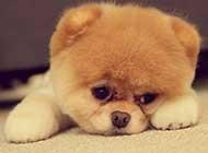 超级可爱小动物博美犬