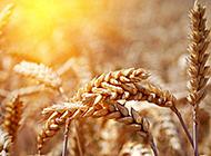 秋天金灿灿的麦穗唯美壁纸