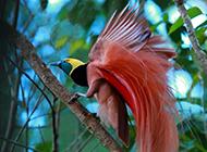 美丽的顶羽极乐鸟图片