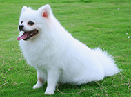 草地上的白色博美犬萌图
