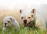 丑萌健壮的英国斗牛犬图片