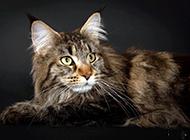 缅因猫神情老实稳重图片