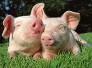 可爱小猪的生活