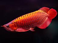 中国最贵红龙鱼图片欣赏