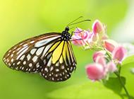 梦幻蝴蝶壁纸美丽迷人