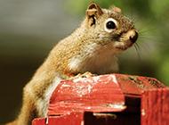 可爱的花栗鼠好奇表情图片