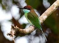 小巧灵气的蓝喉蜂虎鸟高清图片