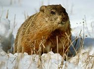 雪地上的土肥圆土拨鼠图片