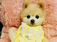 美式博美俊介犬狗狗穿衣服图片