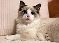 最贵的布偶猫图片欣赏