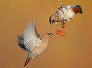 飞行的太平鸟超萌图片