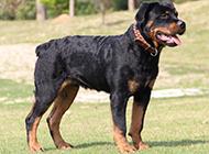 勇敢自信的德系罗威纳犬图片