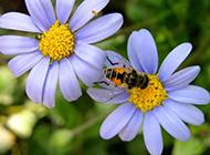 不辞劳苦辛勤的蜜蜂高清壁纸