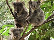 澳大利亚树袋熊考拉可爱图片大全