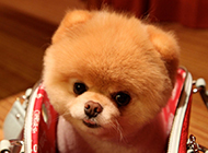 可爱的黄博美犬幼犬图片