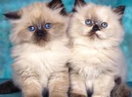 可爱迷人的喜马拉雅种猫图片