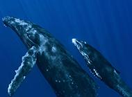 可爱鲸鱼海底嬉戏图片