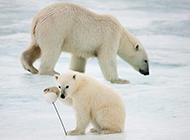北极熊生存现状:气候变化构成致命威胁