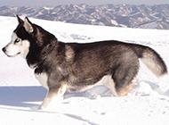 冰天雪地里的雪橇犬图片大全