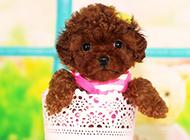 萌宠狗狗茶杯犬穿衣服图片