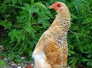 动物恶搞图片之做鸡也要挺直腰杆