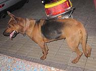 纯种凶猛大苏联红犬图片