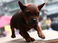 川东猎犬幼犬蹒跚学步图片