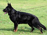 草地休闲玩耍的黑色东德牧羊犬图片