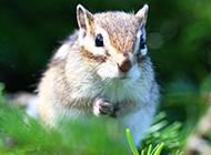 花栗鼠树林栖息图片大全