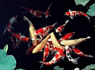 荷花池里的精品锦鲤图片