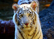 超猛白虎高清动物图片