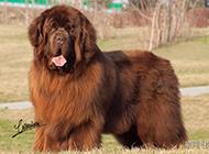 肉呼呼的纽芬兰犬可爱模样图片