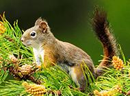 树上的黄山松鼠图片大全