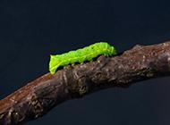 毛毛虫图片大自然昆虫微距特写