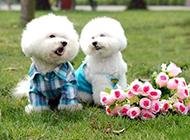 白色卷毛比熊犬图片表情可爱生动