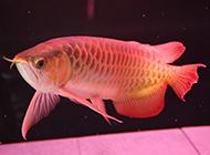 鱼缸里的极品红龙鱼图片