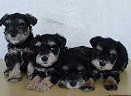 小型可爱雪纳瑞犬素材